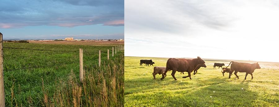 Collage: farmland and cattle